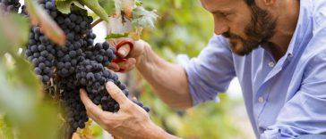 Mulai dari Kebun Anggur Hingga Siap Dinikmati di Gelas Anda dalam 6 Langkah