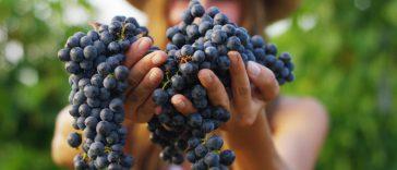 Jenis Anggur Wine Terpopuler