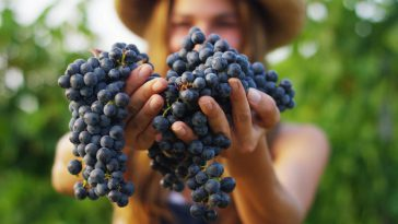 一番よく使われるワイン用ブドウ品種