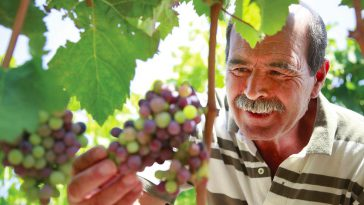 Grapes Harvested on the Volcanic Soils of Sicily