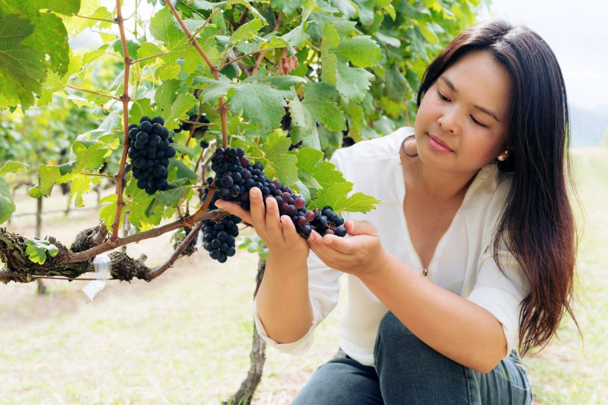 新纬度葡萄酒,低纬度葡萄酒及高纬度葡萄酒