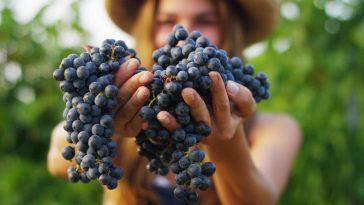 最受欢迎的酿酒葡萄品种